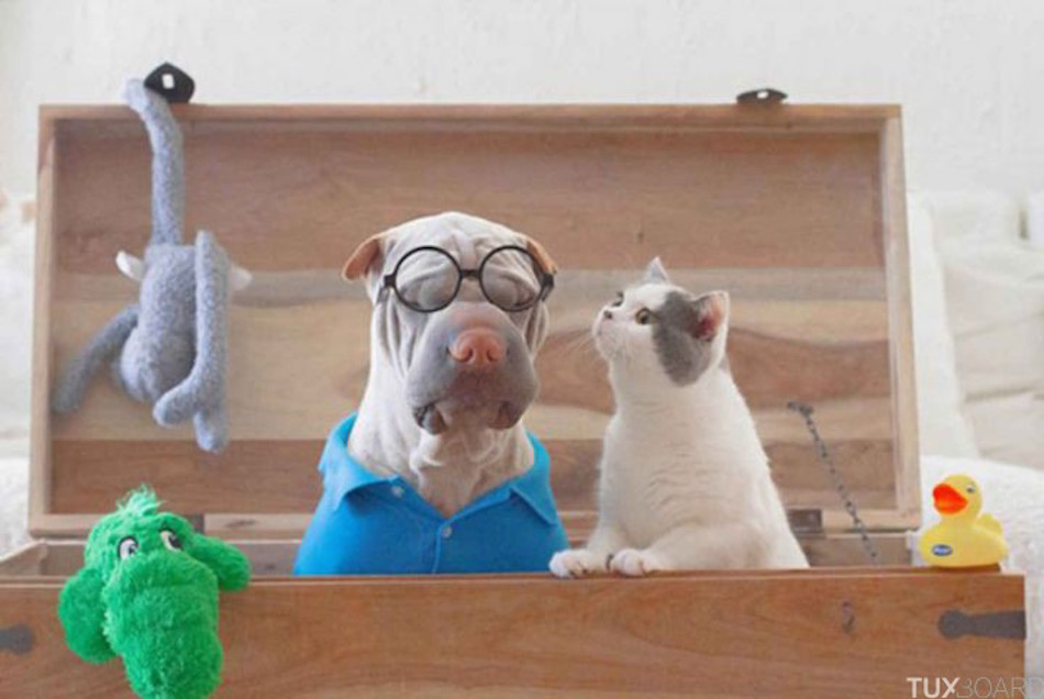 Shar-Pei-chat-seance-photo-1-720x482
