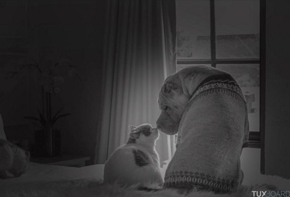 Shar-Pei-chat-seance-photo-4-720x489