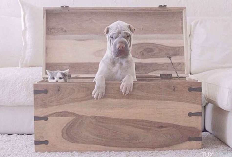 Shar-Pei-chat-seance-photo-5-720x487