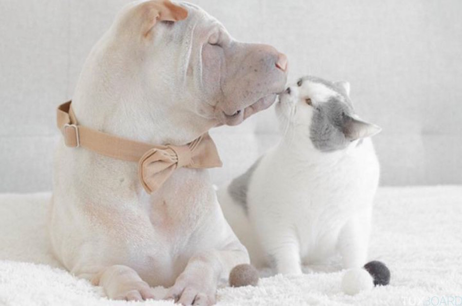 Shar-Pei-chat-seance-photo-6-720x477