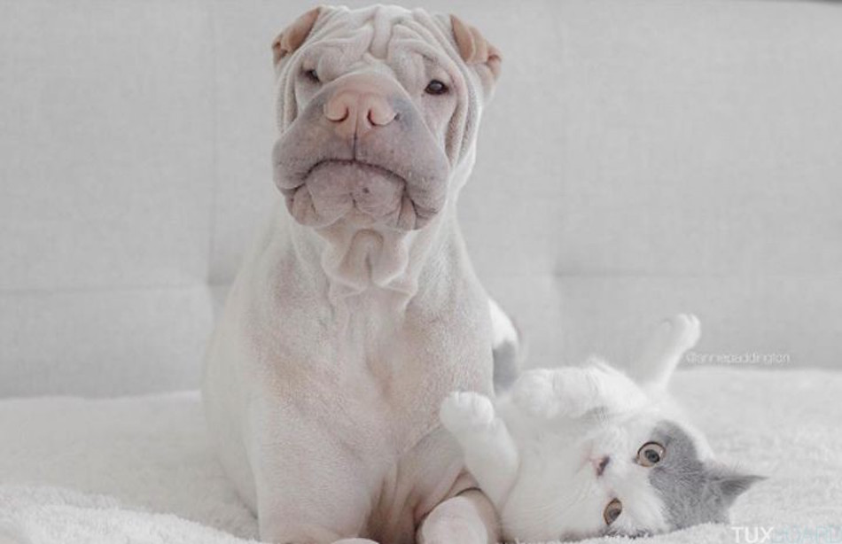 Shar-Pei-chat-seance-photo-7-720x465
