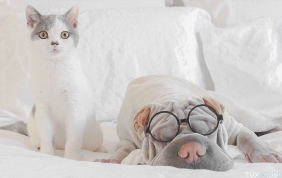 Shar-Pei-chat-seance-photo-9-720x455